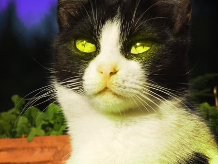 Gato blanco y negro en reposo