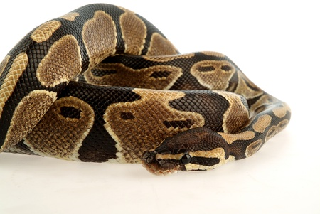 Close-up of coiled python