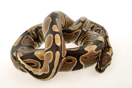 coiled: Puppy python coiled