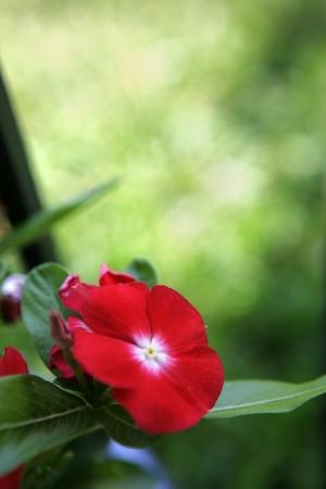 Closeup of a Dahlia in the garden