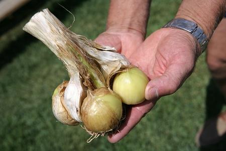Primer plano de las manos muestran un cebollas recién cortadas Foto de archivo