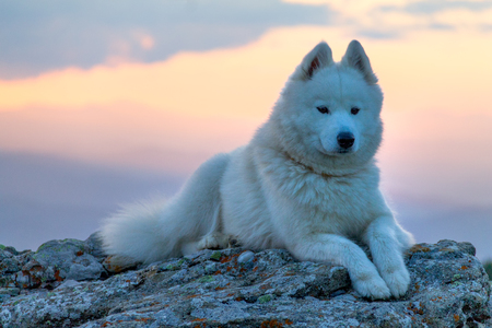 Beautiful white samoyed dog standing on a rock in the sunset light