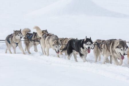 A pack of siberian huskies and malamuts participating in the dog sled racing contest, Tusnad, Romania