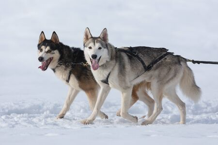 Siberian huskies and malamuts participating in the dog sled racing contest, Tusnad, Romania 스톡 콘텐츠
