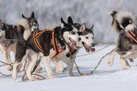A pack of siberian huskies and malamuts participating in the dog sled racing contest, Tusnad, Romania 스톡 콘텐츠