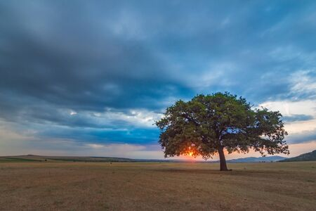 Beautiful landscape with a lonely oak tree in the sunset and dramatic clouds, Dobrogea, Romania Фото со стока