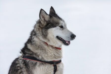 Beautiful portrait of a siberian husky malamut participating in the dog sled racing contest, Tusnad, Romania Stock Photo