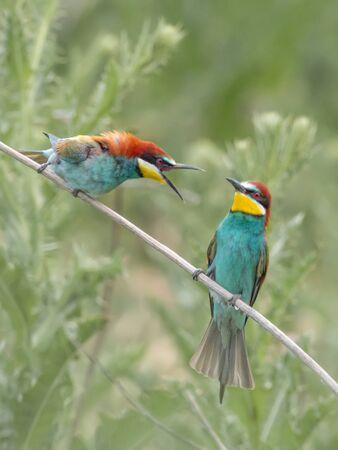Beautiful colorful enamoured couple of bee-eaters sitting on a twig, Merops apiaster, Dobrogea, Romania Фото со стока