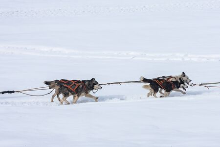 A pack of siberian huskies and malamuts participating in the dog sled racing contest, Tusnad, Romania Stock Photo