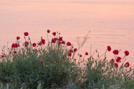 Beautiful field of red poppies in the sunrise near the sea, Vama Veche, Black Sea, Romania Фото со стока