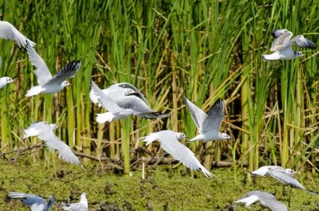 ridibundus: Black Headed Gulls (larus ridibundus)