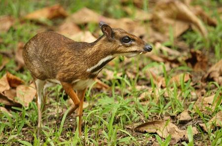 lesser: Lesser Mouse-deer