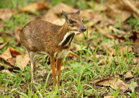 asia deer: Kanchil - mouse deer      Stock Photo