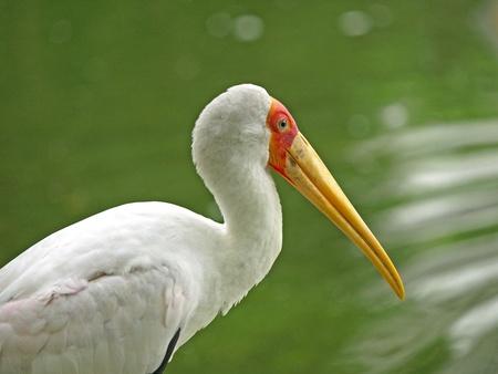 african stork: African stork     Stock Photo