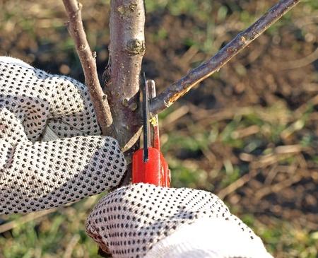 pruning: Fruit tree pruning