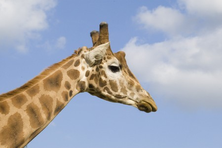 Giraffe Portrait Stock Photo - 7605703