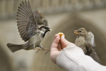 fed: Sparrows being hand fed near Notre Dame de Paris, France Stock Photo