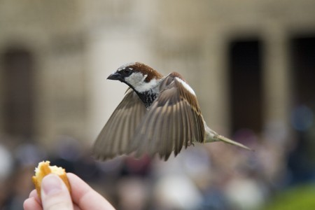 sparrow: Sparrows being hand fed near Notre Dame de Paris, France Stock Photo