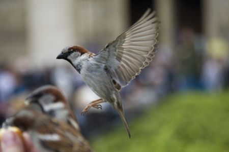 Sparrows being hand fed near Notre Dame de Paris, France