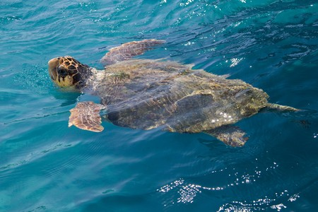 swimming in the sea: Loggerhead Sea Turtle swimming in the blue water near Zakynthos island - summer holiday destination in Greece Stock Photo