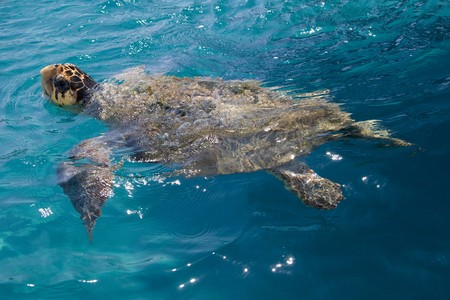 Loggerhead Sea Turtle swimming in the blue water near Zakynthos island - summer holiday destination in Greece photo