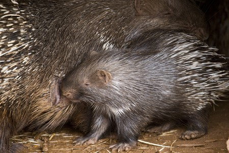 Porcupine Baby and His Mother photo