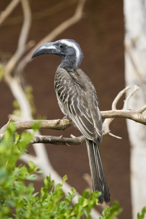 African Grey Hornbill Stock Photo - 7650351