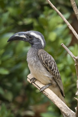 African Grey Hornbill Stock Photo - 7650176