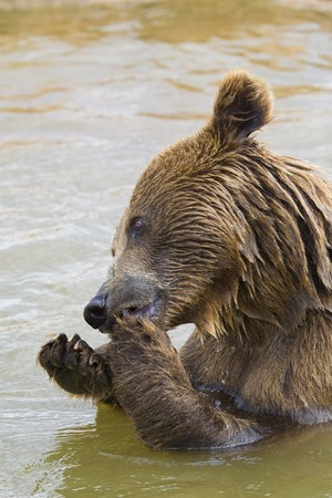 Brown Bear Eating Grapes In the Water photo