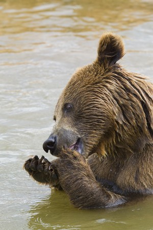 Brown Bear Eating Grapes In the Water Stock Photo - 7650668