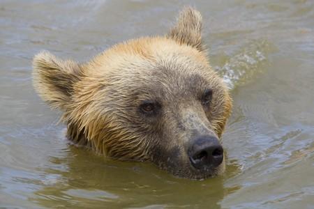 Brown Bear Swimming Stock Photo - 7650222