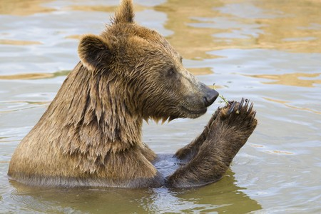 Brown Bear Eating Grapes In the Water Stock Photo - 7650672