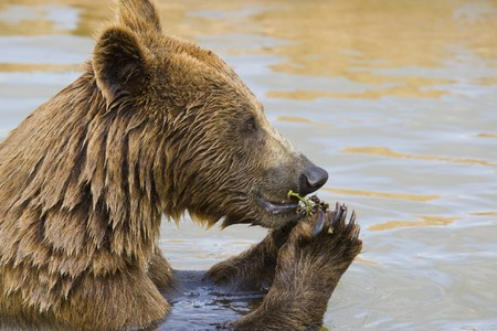 Brown Bear Eating Grapes In the Water Stock Photo - 7650697