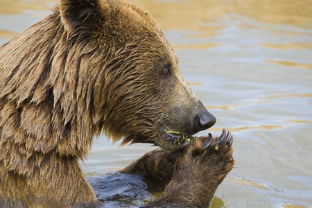Brown Bear Eating Grapes In the Water Stock Photo - 7650750