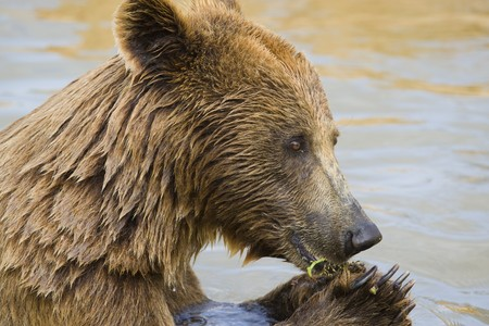 Brown Bear Eating Grapes In the Water Stock Photo - 7650743