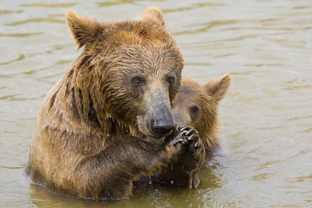 Brown Bear Mother and Her Cub Eating Grapes in the Water Stock Photo - 7650636