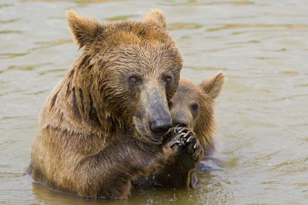 Brown Bear Mother and Her Cub Eating Grapes in the Water Stock Photo - 7650217