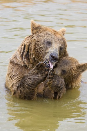 Brown Bear Mother and Her Cub Eating Grapes in the Water Stock Photo - 7650195
