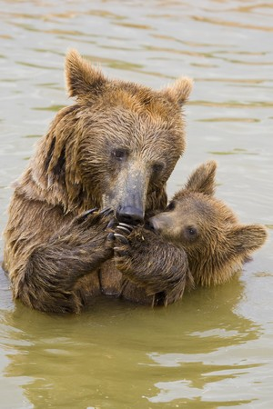 Brown Bear Mother and Her Cub Eating Grapes in the Water Stock Photo - 7650660