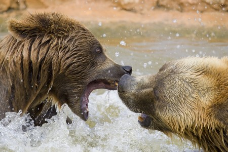 Brown Bears Fighting in the Water Stock Photo - 7650665