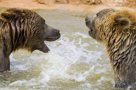Brown Bears Fighting in the Water Stock Photo - 7650731