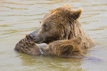 Brown Bear Mother and Her Cub Eating Grapes in the Water Stock Photo - 7650649