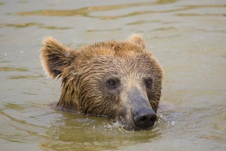 Brown Bear Swimming Stock Photo - 7650223
