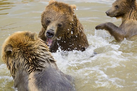 Brown Bears Fighting in the Water Stock Photo - 7650710