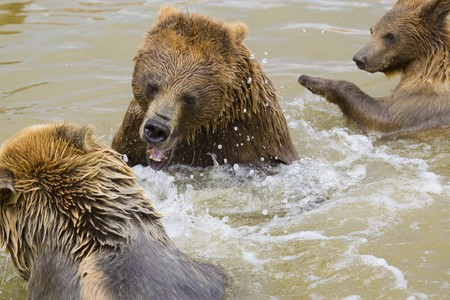 Brown Bears Fighting in the Water Stock Photo - 7650713