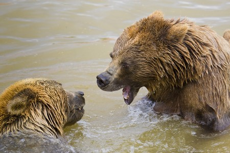 Brown Bears Fighting in the Water Stock Photo - 7650755