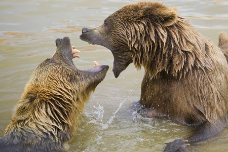 Brown Bears Fighting in the Water Stock Photo - 7650735