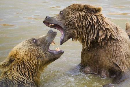 Brown Bears Fighting in the Water photo