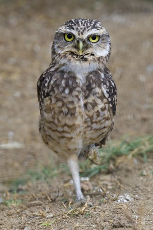 burrowing: Burrowing Owl Portrait