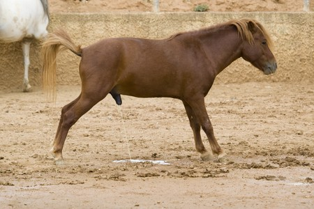 urinating: Brown Horse Urinating